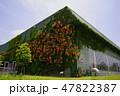 建物の壁面を覆うノウゼンカズラ 47822387