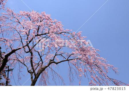 青空と桜 47823015