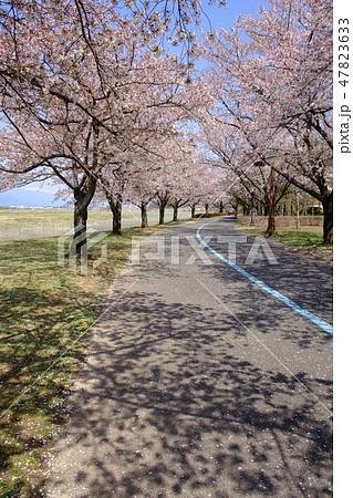 信州スカイパーク遊歩道の桜並木 47823633
