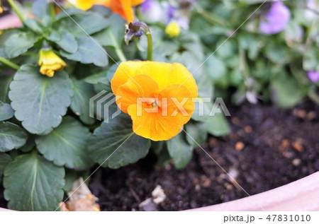 黄色い可愛い花、ガーデニング、家庭菜園 47831010