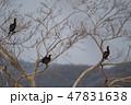 野鳥 鵜 カワウの写真 47831638