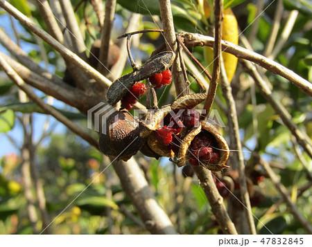 赤い粘液に包まれた種が顔を出したトベラ 47832845
