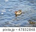 茶色 緑色 冬の写真 47832848