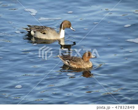 花見川河口に飛来した渡り鳥のオナガガモ 47832849