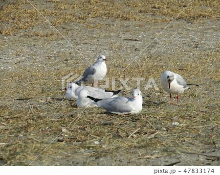 検見川浜で日向ぼっこの渡り鳥ユリカモメ 47833174