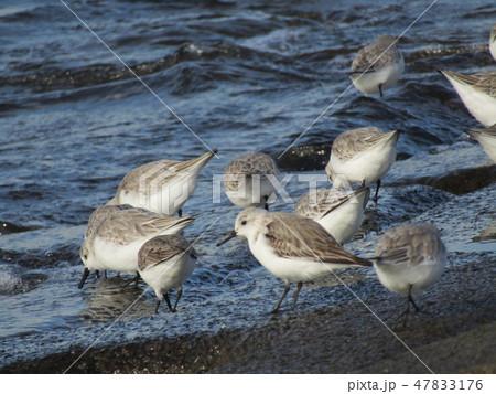 検見川浜の護岸で採餌中のミユビシギ 47833176
