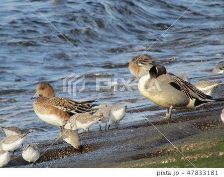 検見川浜の護岸で採餌中のミユビシギと日向ぼっこのオナガガも 47833181