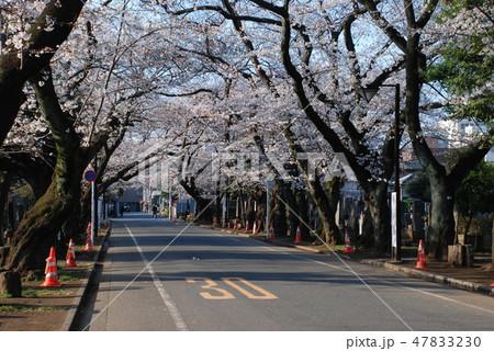 谷中霊園の桜の並木道 47833230
