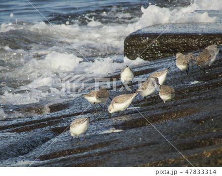 検見川浜の護岸で採餌中のミユビシギ 47833314