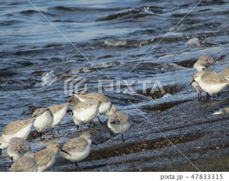 検見川浜の護岸で採餌中のミユビシギ 47833315