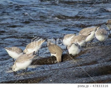 検見川浜の護岸で採餌中のミユビシギ 47833316