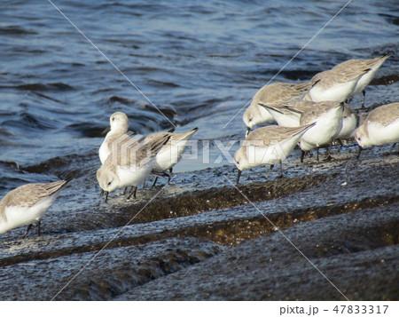 検見川浜の護岸で採餌中のミユビシギ 47833317