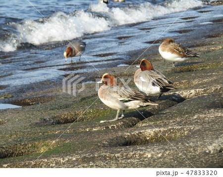検見川浜の護岸で一休みのヒドリガモ 47833320