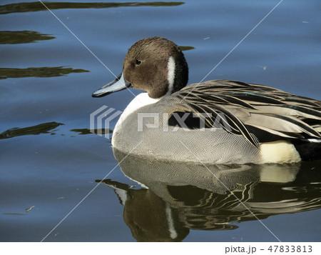 稲毛海浜公園の池に来たオナガガモ 47833813