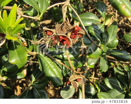 赤い粘液に包まれた種が顔を出したトベラ 47833816