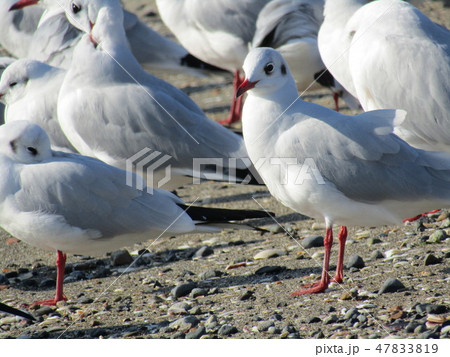 検見川浜で一休みの渡り鳥ユリカモメ 47833819