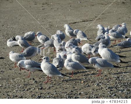 検見川浜の砂浜で一休みのユリカモメ 47834215
