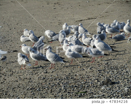 検見川浜の砂浜で一休みのユリカモメ 47834216