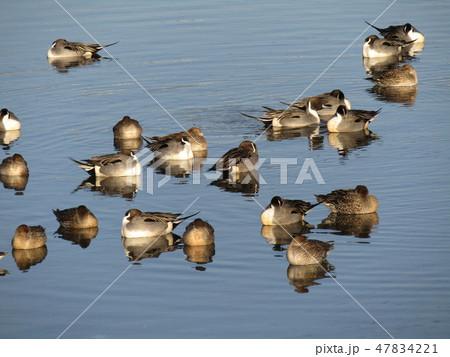 花見川河口に飛来した渡り鳥のオナガガモ 47834221