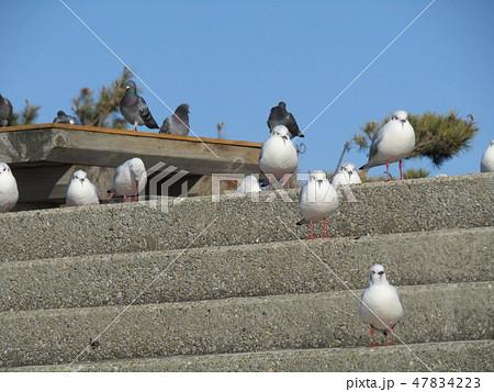 検見川浜の階段で一休みの渡り鳥ユリカモメ 47834223