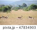 マサイマラ国立保護区 動物 野生動物の写真 47834903