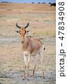 マサイマラ国立保護区 動物 野生動物の写真 47834908
