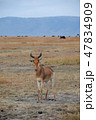 マサイマラ国立保護区 動物 野生動物の写真 47834909