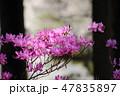 ミツバツツジ 花 植物の写真 47835897