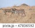 マサイマラ国立保護区 サファリ 動物の写真 47836592
