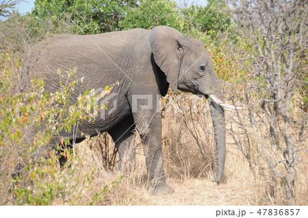 ケニア、マサイマラ、サファリ、アフリカゾウ 47836857