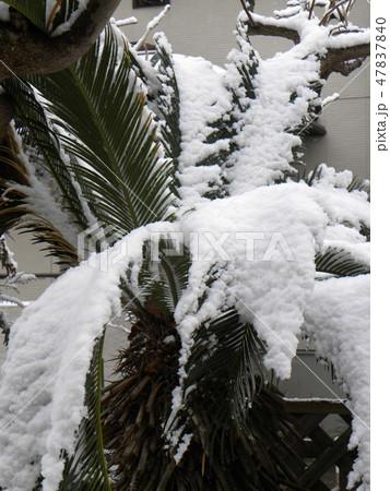 雪の重みで葉っぱがしなるソテツの木 47837840