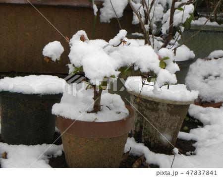 アザレアの鉢植えに真っ白な雪 47837841