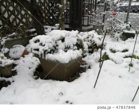 千両の鉢植えに真っ白な雪 47837846