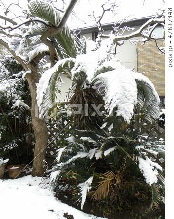 雪の重みで葉っぱがしなるソテツの木 47837848
