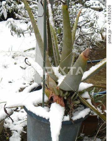 雪にまみれたアロエベラ 47838206