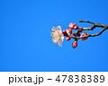 梅の花(N) 47838389