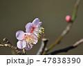 梅の花(N) 47838390