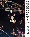梅の花(N) 47838392