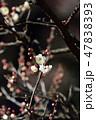 梅の花(N) 47838393