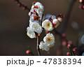 梅の花(N) 47838394