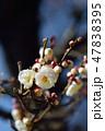 梅の花(N) 47838395