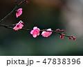 梅の花(N) 47838396
