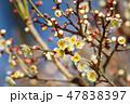 梅の花(N) 47838397