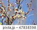 梅の花(N) 47838398