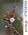 梅の花(N) 47838399