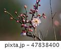 梅の花(N) 47838400