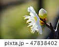 梅の花(N) 47838402