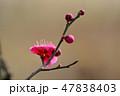 梅の花(N) 47838403