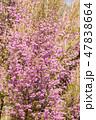 ジャノメエリカ 花 ツツジ科の写真 47838664