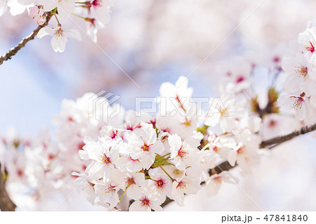 桜 47841840